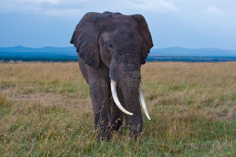 Слон, национальный парк Amboseli стоковые изображения rf