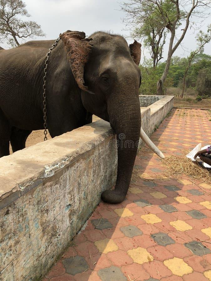 Слон от парка Dubare стоковое изображение