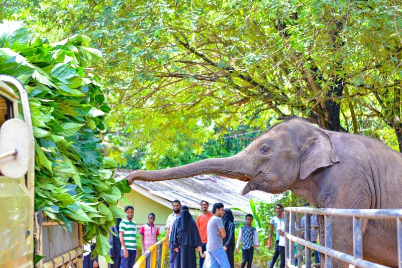 Слон питаясь на свежих листьях, Шри-Ланка стоковые изображения