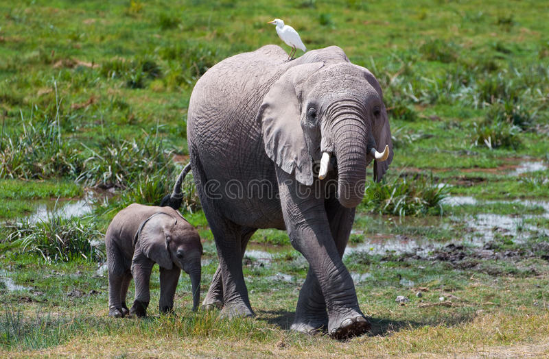 Слон & птица Amboseli стоковая фотография rf