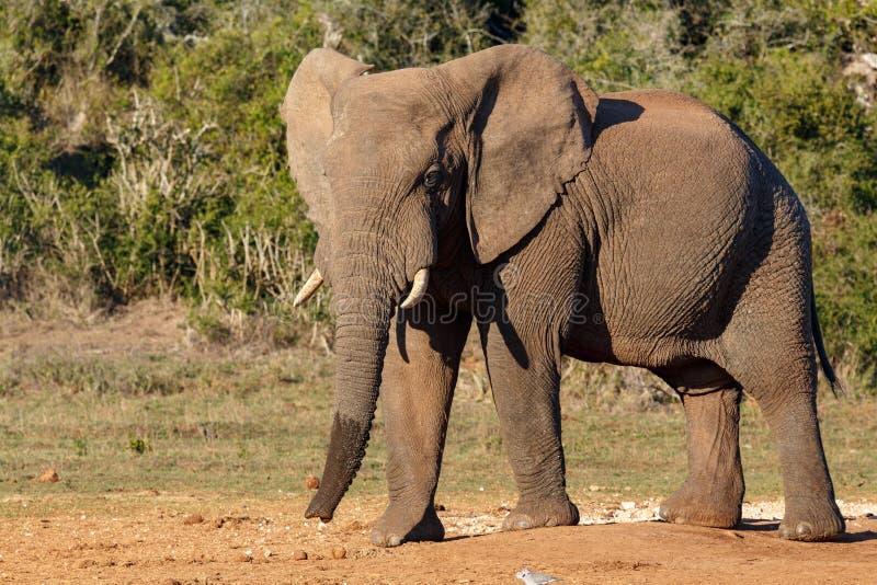 Слон стоя гордый на водопое стоковое фото