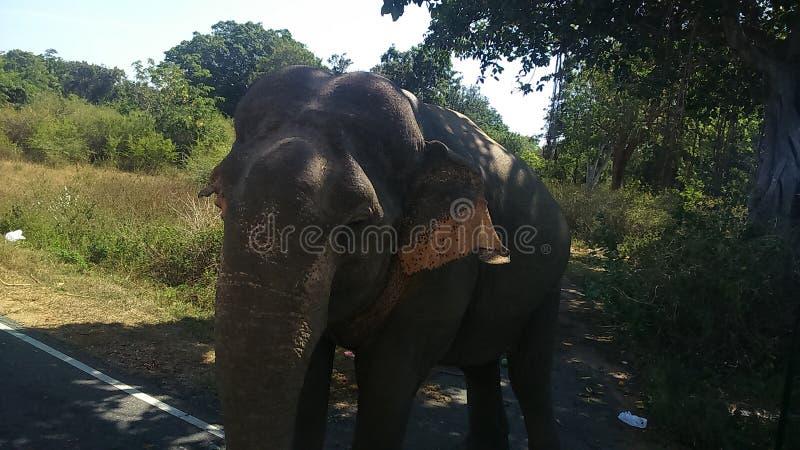 Слон Шри-Ланки одичалый стоковая фотография
