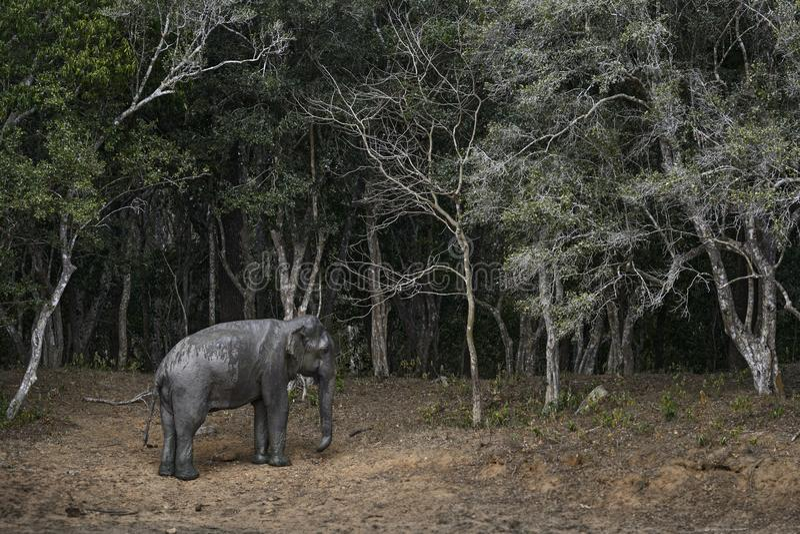 Слон Sri Lankan - maximus maximus Elephas, Шри-Ланка стоковое фото rf