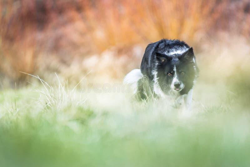 Служебная собака - черно-белая Коллиа границы - на зеленой предпосылке луга и апельсина стоковые изображения rf
