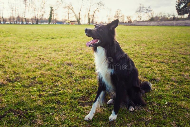 смарт-пограничный колье-пес сидел на зеленой траве в парке, смотря вним стоковое фото