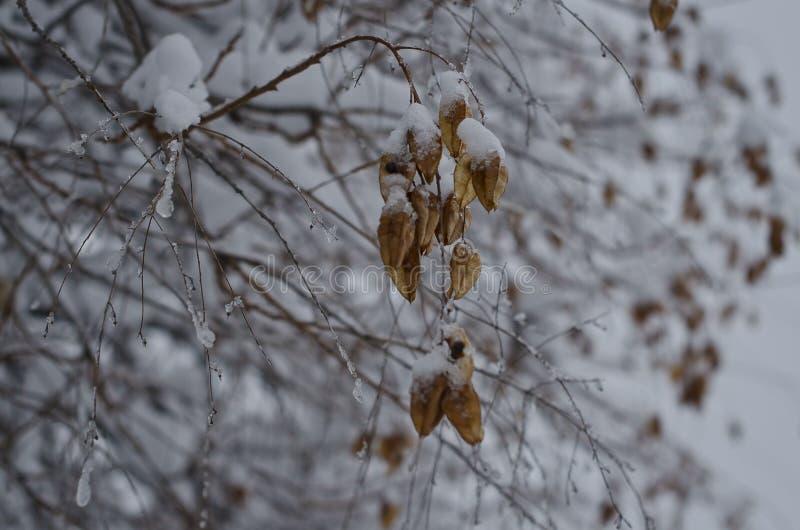 Смертельно высушите замороженные стручки в ветви дерева стоковое изображение