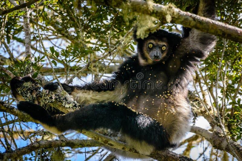 Смертная казнь через повешение лемура Indri в сени дерева вытаращить на нас со своими красивыми глазами стоковые фотографии rf