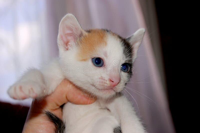 Смертная казнь через повешение котенка ситца на человеческой руке стоковое изображение