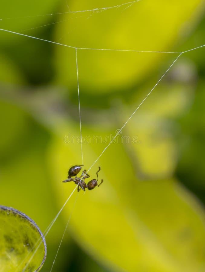 Смертная казнь через повешение муравья на сети паука стоковое изображение