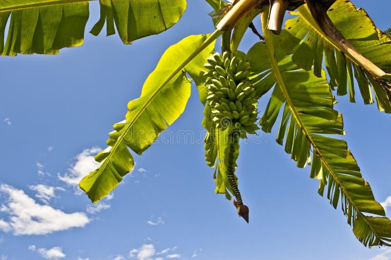 Download Смертная казнь через повешение пука банана от дерева Стоковое Фото - изображение насчитывающей ботаническую, процесс: 17621510