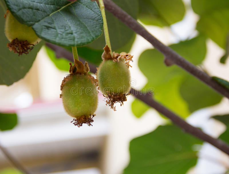 Смертная казнь через повешение плодоовощ кивиа от дерева в окружающей среде стоковые фото