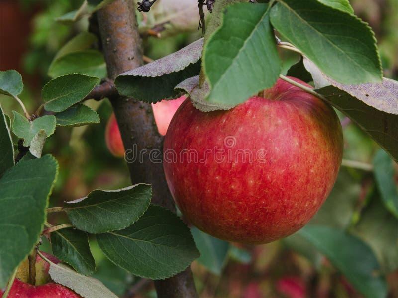 Смертная казнь через повешение Яблока на ветви стоковые фото