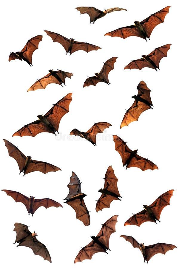 Смесь летучих мышей плодоовощ (лис летания) иллюстрация штока