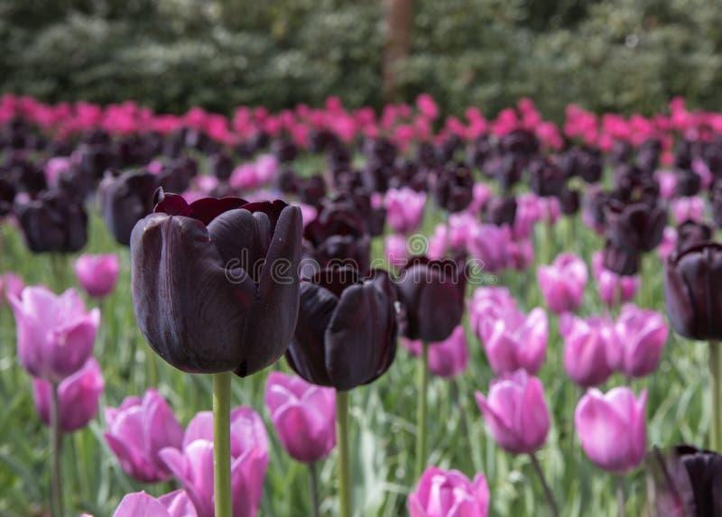 Смесь тюльпанов в пурпуре сирени, magenta и темных в Keukenhof стоковое изображение rf