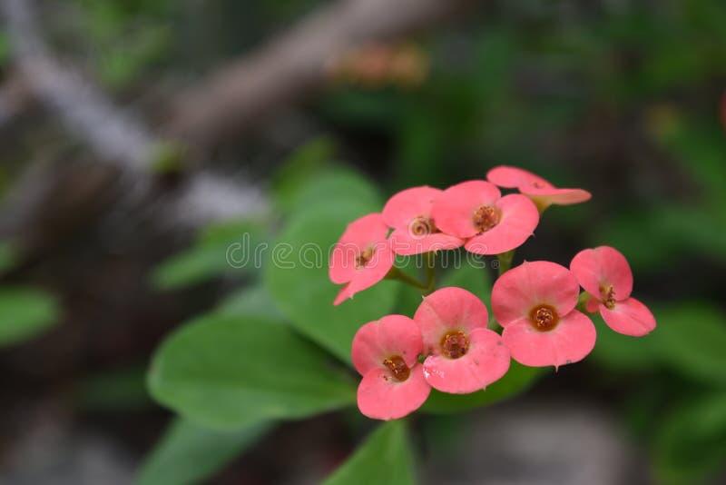 Сметанообразные розовые цветки молочая стоковые фотографии rf