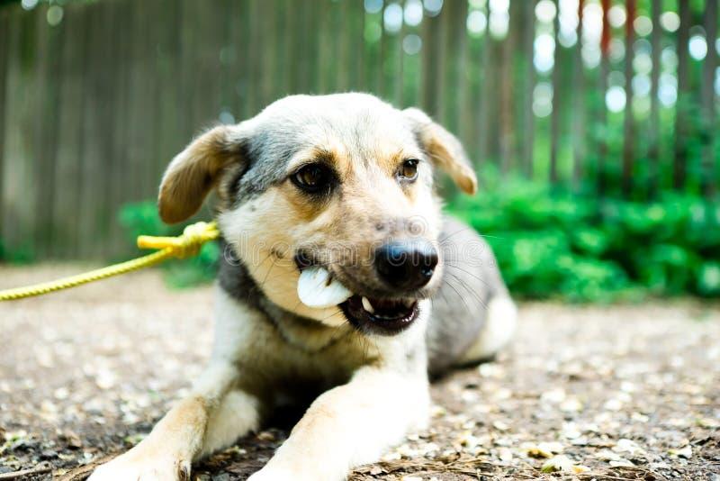 Смешанная собака породы на поводке лежа на земное на открытом воздухе и titbit еды стоковые фото