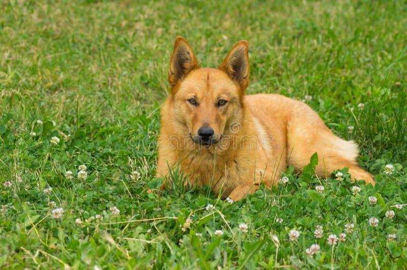 Смешанная собака породы лежа в травах лета стоковое изображение rf