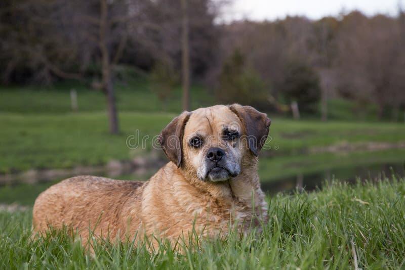 Смешанная собака Puggle породы ослабляя в травянистом поле на солнечный день стоковые изображения rf