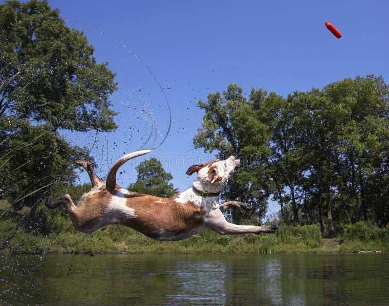Download Смешанное подныривание собаки породы в пруд Стоковое Изображение - изображение: 58585683