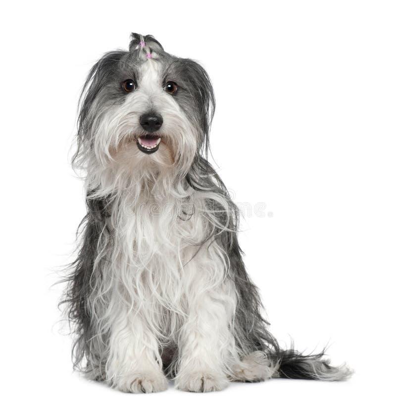 смешанное собаки Коллиы граници мальтийсное стоковое изображение