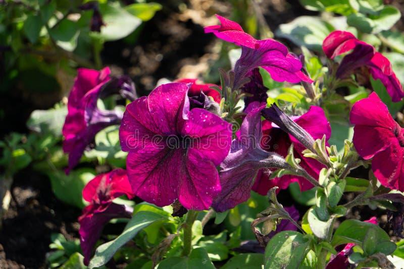 Смешанные цветки петуньи Петуньи в флористическом фоновом изображении детали Красивые обои цветка петуньи Пестротканые петуньи ра стоковое изображение