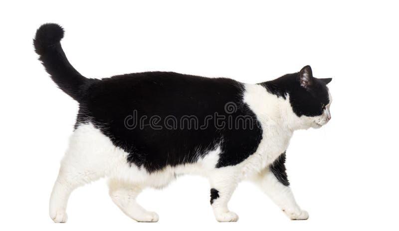 Смешанный кот породы идя против белой предпосылки стоковое изображение