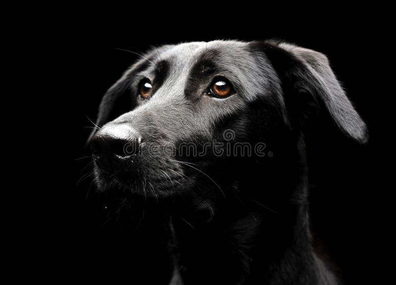 Смешанный портрет черной собаки породы в темном photostudio стоковая фотография