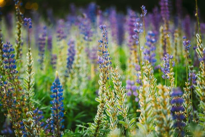 Смешивание зацветать и пышное с Lupine полевых цветков стручков семени стоковое фото rf