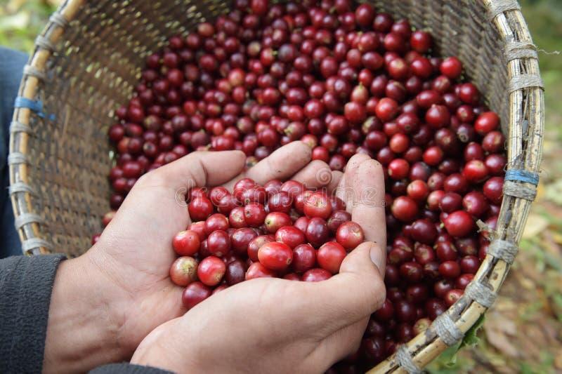 Смешивание чашки конца вверх красных кофейных зерен ягод стоковая фотография rf