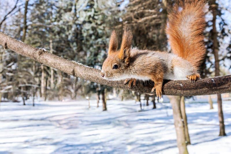 Download Смешная красная белка достигает после закуски на ветви дерева Стоковое Фото - изображение насчитывающей содружественно, природа: 81814970