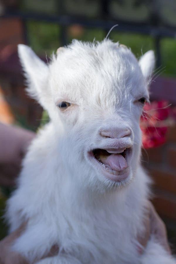 Смешная маленькая коза показывает язык стоковое фото rf