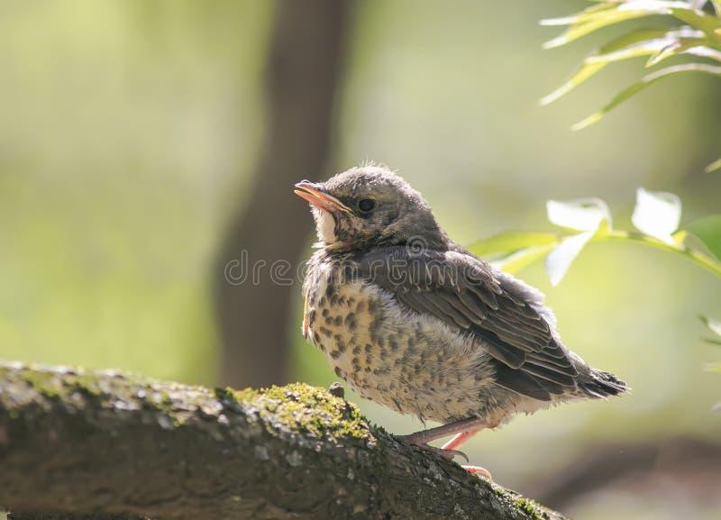 Смешная маленькая кукушка цыпленока сидя в дереве ждать p стоковая фотография