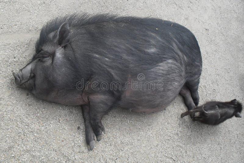 смешная свинья стоковые фото