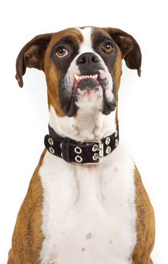 Смешная смотря собака боксера стоковое фото