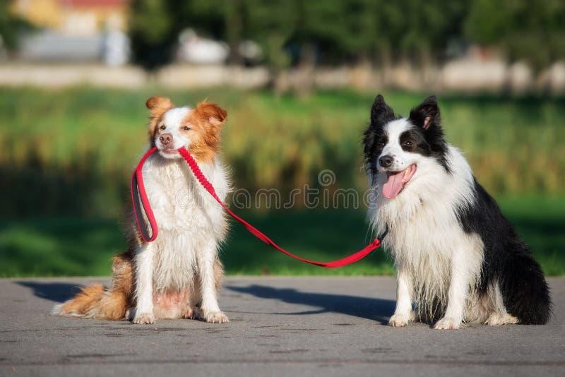 смешная собака держа другую собаку на поводке стоковое фото rf