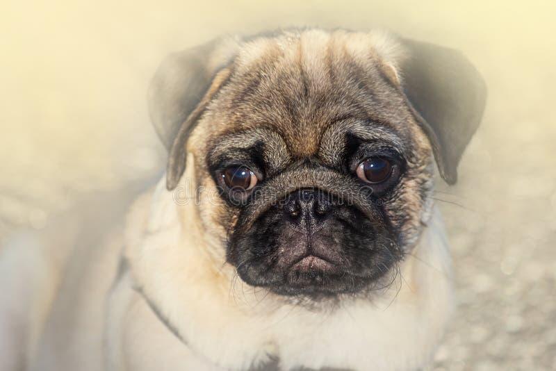 Смешная собака мопса с камедью в остатках глаза и языка на поле стоковая фотография rf