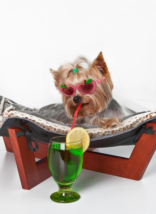 Смешная собака при стекла лежа в гамаке кресла с питьем стоковые изображения rf