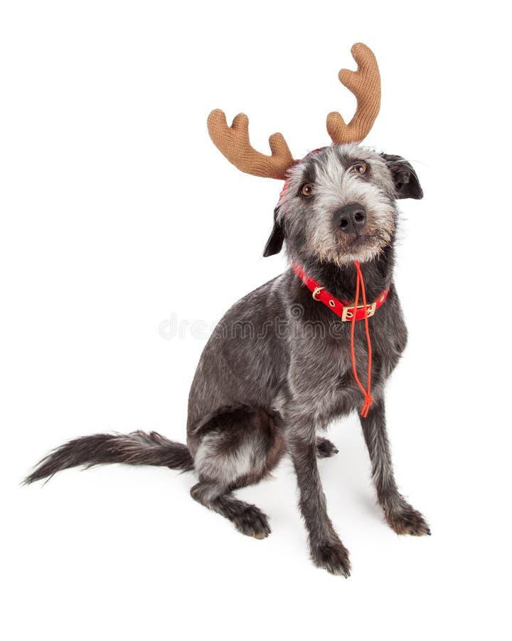 Смешная собака северного оленя рождества стоковые изображения