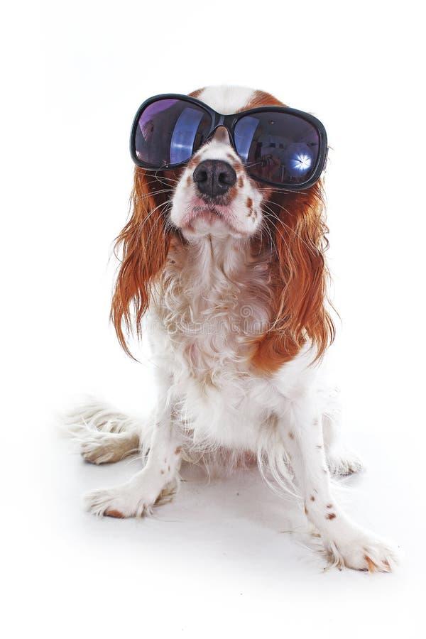 Смешная собака с солнечными очками Вариант лета Кавалерийское фото собаки spaniel короля Карла Красивая милая кавалерийская собак стоковое изображение