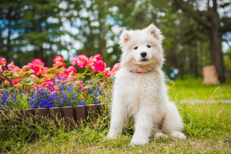 Смешная собака щенка Samoyed в саде на зеленой траве с цветками стоковое фото rf