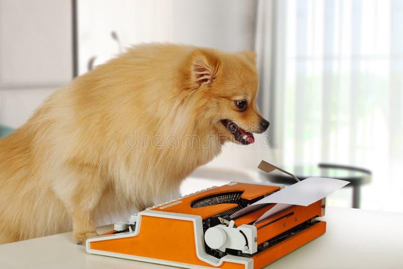 Смешная собака Pomeranian печатая на винтажной машинке стоковые изображения rf