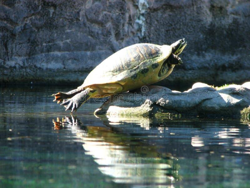 смешная черепаха стоковые фотографии rf