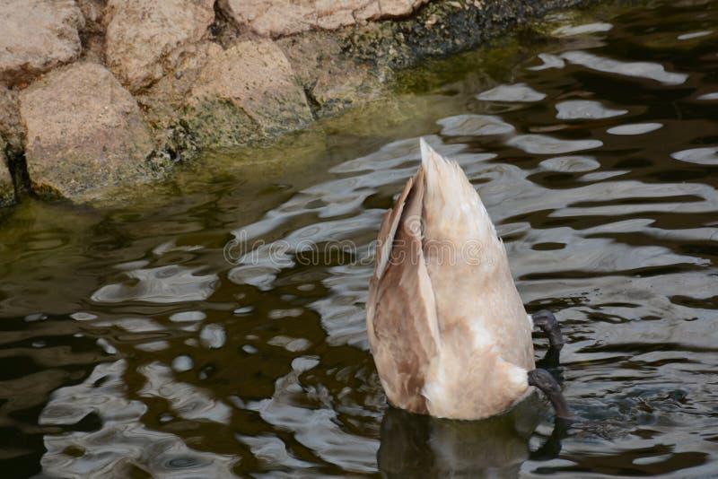 Смешное белое подныривание в озере, ишак лебедя вне стоковая фотография