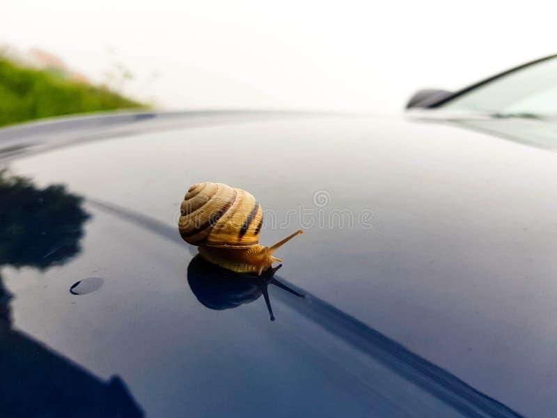 Смешное изображение малой улитки сада на современном автомобиле стоковое фото