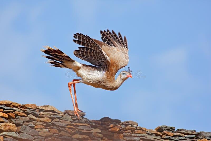 Смешное изображение от природы Красно-шагающее Seriema, cristata Cariama, Pantanal, Бразилия Птица на крыше с открытым крылом Ser стоковое фото rf