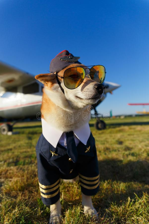 Смешное фото собаки Shiba Inu стоковые изображения rf
