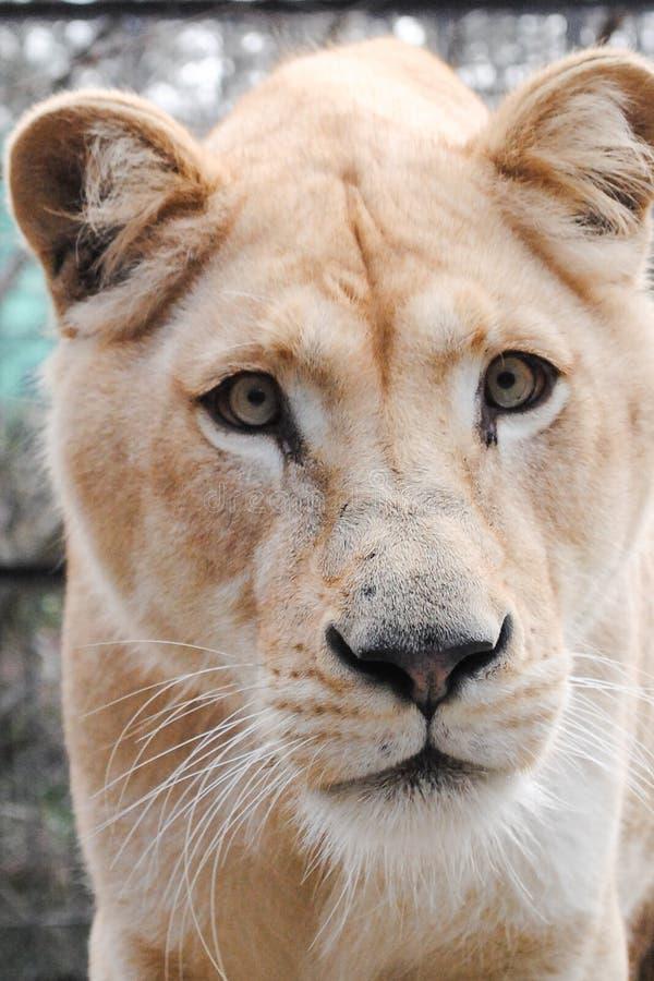 Смешной белый намордник львицы стоковые фотографии rf