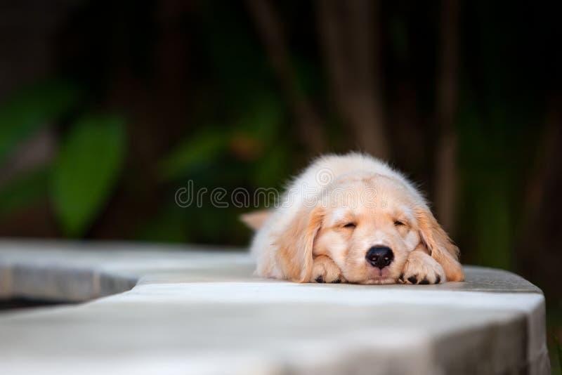 Смешной лежать щенка labrador золотого retriever протянул на poolside стоковые изображения rf