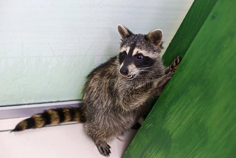 Смешной енот в зоопарке, стоя на его задних ногах стоковая фотография