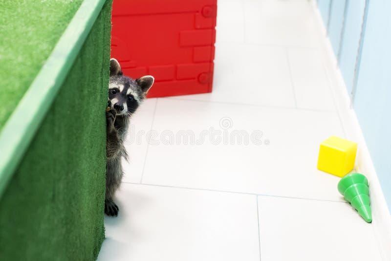 Смешной енот в зоопарке стоковая фотография